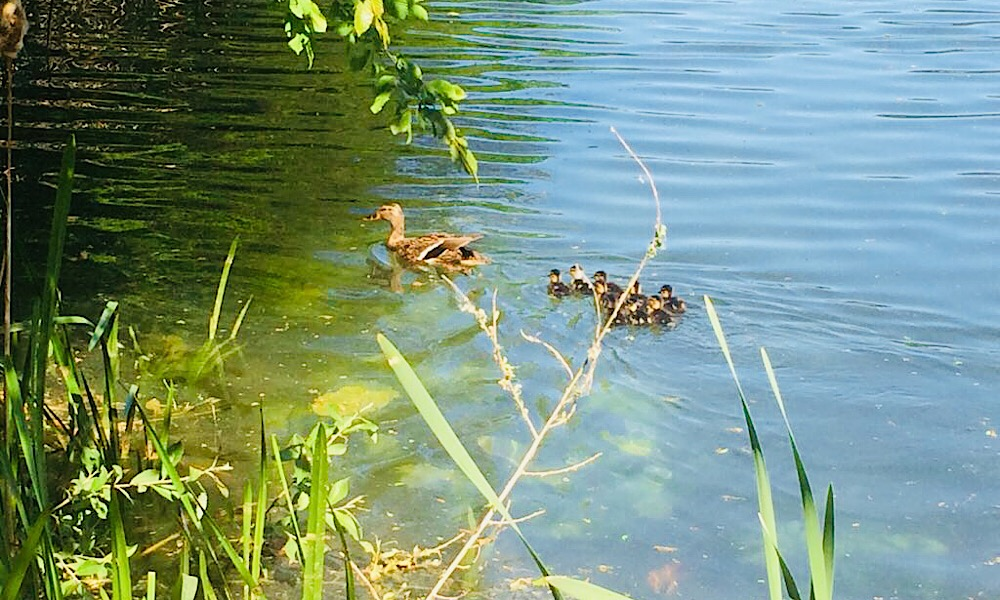 Hilflose Entenfamilie